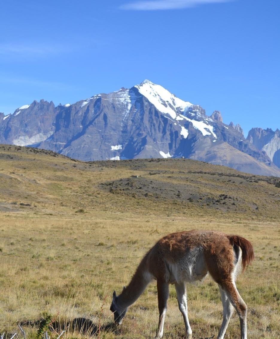 I guanachi non sono addomesticabili, ma possiedono un pelo molto pregiato che li ha sempre resi prede ambite dai cacciatori