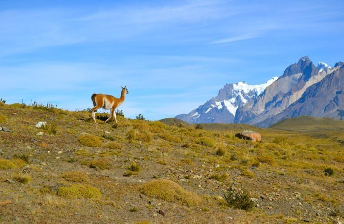 Un guanaco osserva le montagne. Sono i mammiferi più selvaggi presenti in queste zone, per la loro capacità di resistere alla scarsità d'acqua