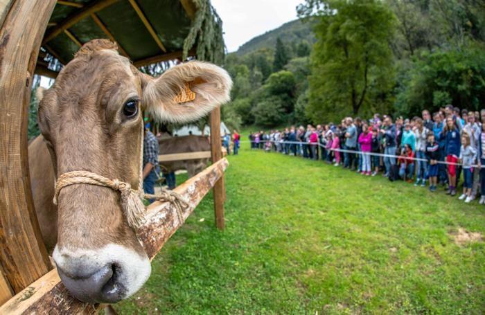 mucca e pubblico al campionato mondiale di mungitura a mano