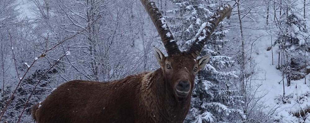 Spruzzata di neve nelle valli - Foto «Imbiancati» anche gli stambecchi