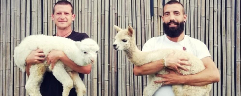 Dalle Ande in Val Gandino Gli alpaca (e la loro lana) a Casnigo
