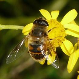 Punto da una vespa, rischia lo choc anafilattico: soccorso 62enne di Brembate