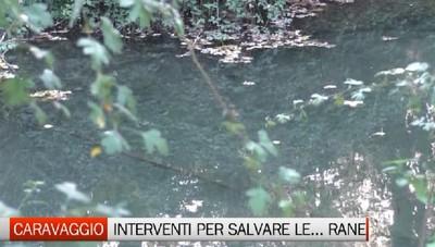 Caravaggio: un piano per salvare la rana lataste e il fontanile Brancaleone