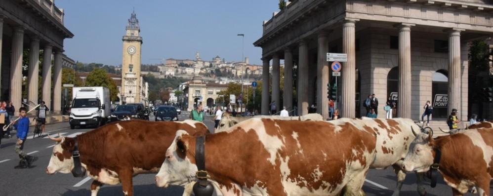 Cavalli, mucche e campanacci invadono le vie di Bergamo: torna la transumanza -  Foto e video